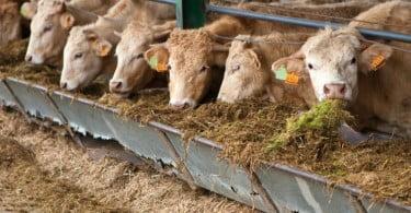 Portugal já pode exportar bovinos para a Argélia
