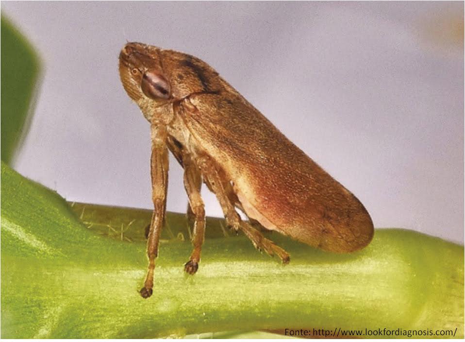 Philaenus spumarius – Vetor disseminador da Xylella fastidiosa