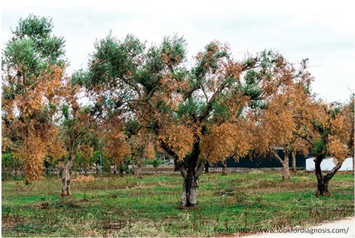 Sintomatologia de infeção por X. fastidiosa em oliveira