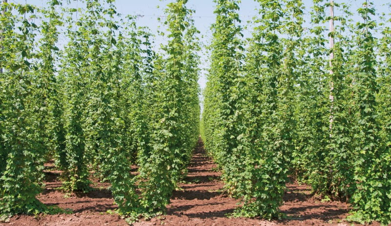 Willamette Valley hops growing for the microbrew market near Salem Oregon