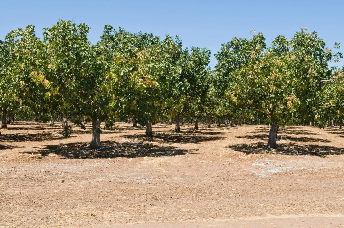 Pistácio - árvores - Vida Rural