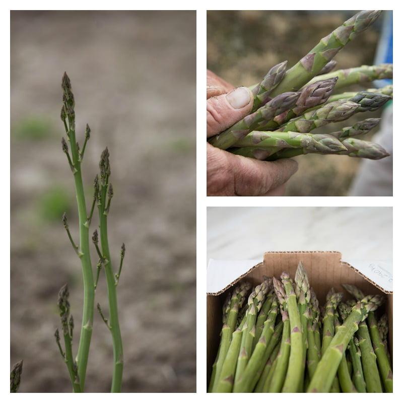 espargos - da plantação à colheita - Vida Rural