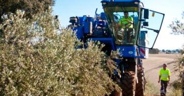 Universidade de Évora promove demonstração de colheita de azeitona