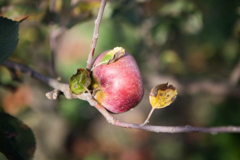 Universidade do Minho descobre fungo que pode combater doenças em maçãs
