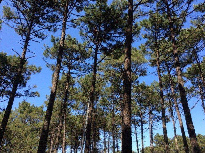 Centro Pinus e ICNF recolhem sementes para rearborizar 125 mil hectares ardidos em 2017