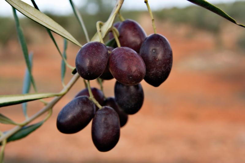 Variedades de oliveira: Cobrançosa