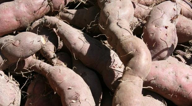 Batata doce cresce no sudoeste alentejano