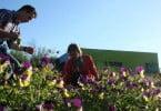 Produzir flores comestíveis em Trás-os-Montes