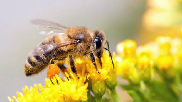 Abelhas adoram inseticida que as está a matar