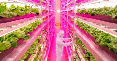 Japonês produz alfaces com recurso a lâmpadas LED