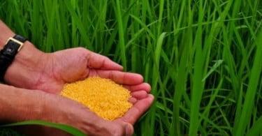 Fundador da Greenpeace quer autorização para a produção de arroz dourado