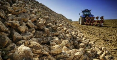 Portugal vai voltar a produzir beterraba sacarina