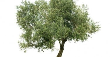 Xylella fastidiosa encontrada em França