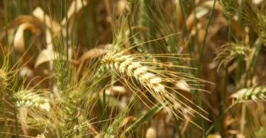 Cereais em Portugal: ainda há oportunidade de criar valor?