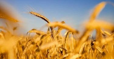 Foi criado o primeiro mapa genético de variedades de trigo
