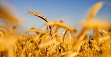 Colheita de cereais na UE será menor que na campanha passada