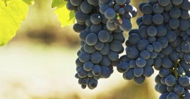 Produtores brasileiros preferem importar a cultivar uva
