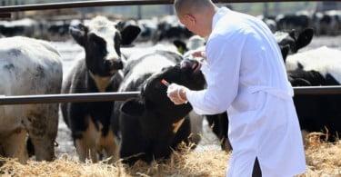 Qual o impacto das doenças ocupacionais nos veterinários de ruminantes? Os alunos da FMVUL vão investigar