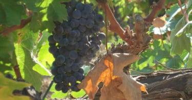 Municípios querem rota nacional do vinho