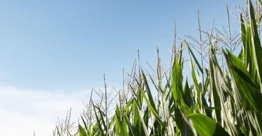 Produtores europeus de milho contra uma PAC mais 'verde'