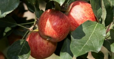 produção de maçã de Alcobaça