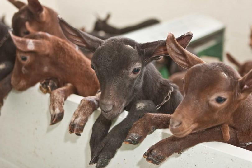 Ovinos e caprinos nacionais já podem ser exportados para a Arábia Saudita
