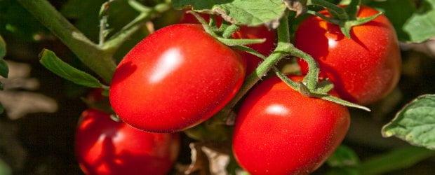 Colheita de tomate em risco devido à chuva