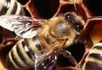 Vespa assassina de abelhas ameaça colonizar a Europa