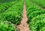 Afinal agricultura biológica pode ser mais poluente do que a tradicional