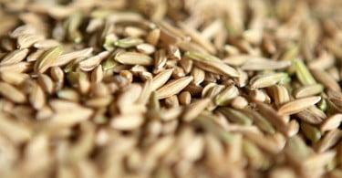 Cientistas nas Filipinas desenvolvem súper arroz