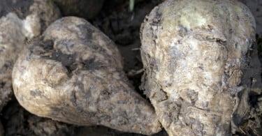 PSD vai propor retoma da produção de beterraba sacarina