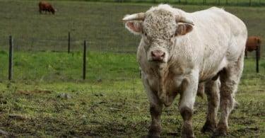 Região do Algarve declarada indemne para doenças com bovinos