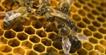Morte das abelhas: estudo diz que mosca parasitária pode ser a causa