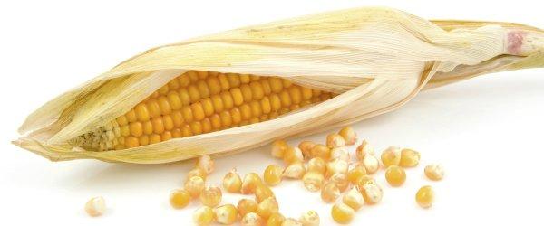 CIB considera que estudo de milho transgénico em ratos não tem credibilidade