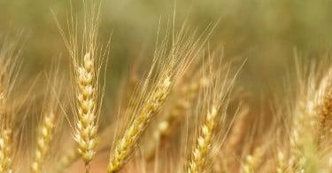 Moagens francesas pedem fim da taxa de importação do trigo branco