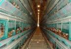 Comissão insiste que Estados apliquem proibição de gaiolas para galinhas poedeiras