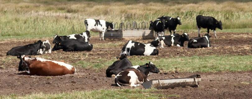 Cooperativa holandesa só quer leite de vacas com pastoreio