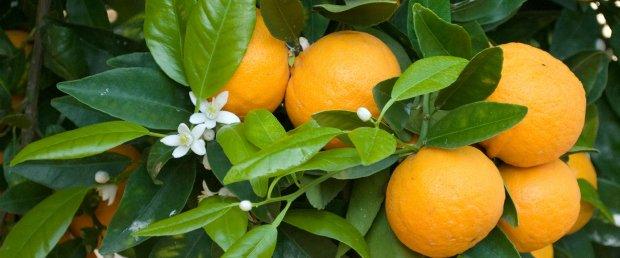 Espanhóis interessados em citrinos portugueses