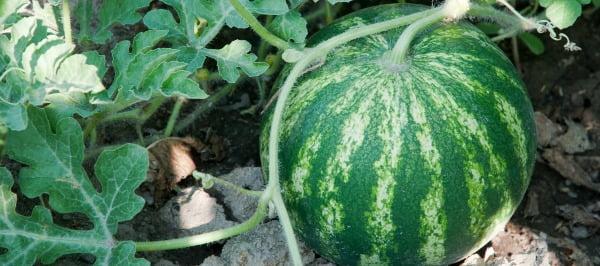 Investigadores querem criar melancia mais resistente a doenças e pragas
