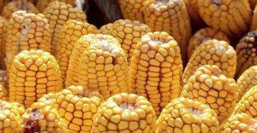 Produção de cereais pode aumentar mais de 2