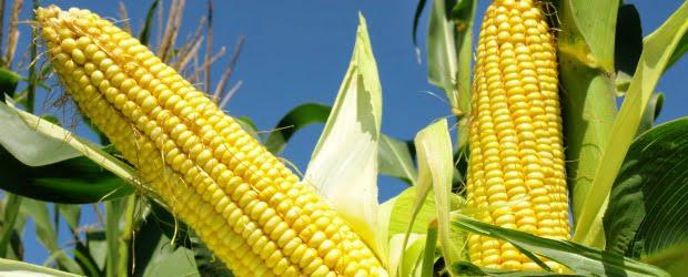 Colheita recorde no milho e aumentos no trigo e na soja