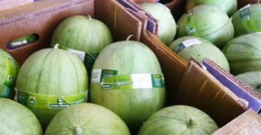 Exploração brasileira aposta na produção de míni melancias