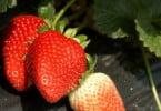 Criado vinagre de morango que conserva propriedades antioxidantes do fruto