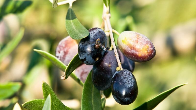 mosca da oliveira azeitonas e