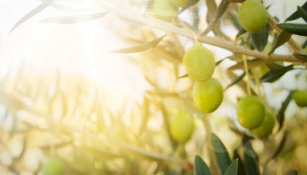 Produção de azeite sofre quebra de 32% face à campanha anterior