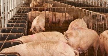 Estudo revela: animais com menos stress têm melhor carne