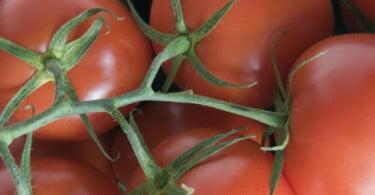 Novo método no Brasil aumenta 30% a produção de tomate