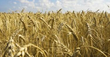 Comercialização de trigo aumenta no Mar Negro