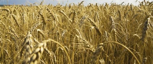 Preços do trigo sobem