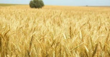 Preço do trigo sobe mas os agricultores ganham menos